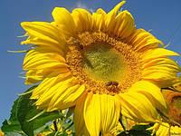 Семена подсолнечника ЛГ 5485 от Limagrain