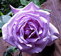 Роза чайно-гибридная Блу Мун (Blue Moon), купить саженцы роз