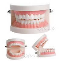 Модель зубов демонстрационная