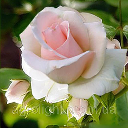 Роза чайно-гибридная Вивальди, купить саженцы роз