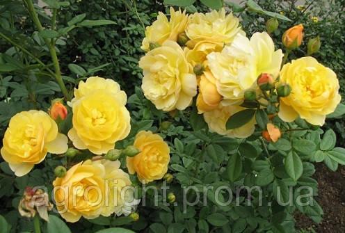 Роза парковая Консуэлла (Konsuella), купить саженцы роз