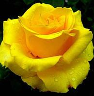 Роза чайно-гибридная Ландора, купить саженцы роз