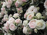 Роза плетистая Мон Блан (Mont Blanc), купить саженцы роз