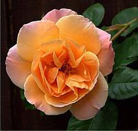 Роза плетистая Скул Герл (School Girl), купить саженцы роз