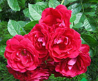 Роза плетистая Фламентанз (Flammentanz), купить саженцы роз