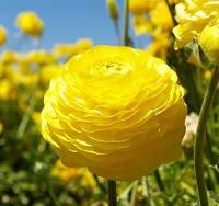 Лютик (ранункулюс) желтый, купить луковичные цветы