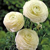 Лютик (ранункулюс) белый, купить луковичные цветы