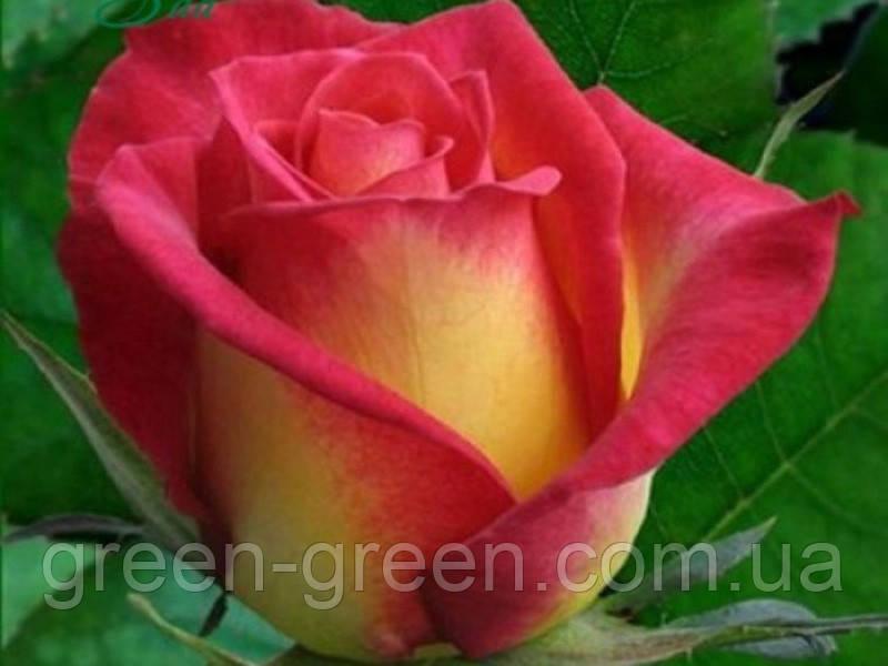 Роза Утопия, саженец