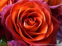 Роза чайно-гибридная Cofe Brake