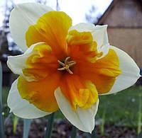 Нарцисс Split Corona Оранжери, купить луковицы цветов
