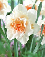 Нарцисс махровый Replete, купить луковицы цветов