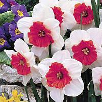 Нарцисс корончатый Rosy Sinrise, купить луковицы цветов