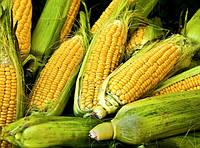 Семена кукурузы Евралис Семенс гибрид Эдэн Стар