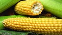 Семена кукурузы Евралис Семенс гибрид Кристель