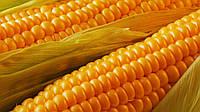 Семена кукурузы Сингента гибрид СИ Топмен ФАО 250