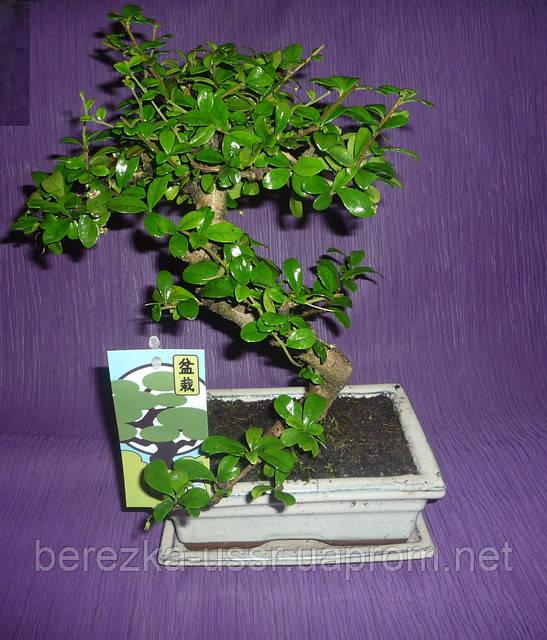 Кармона Бонсай дерево (белый керамический горшок)