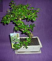 Кармона Бонсай дерево (белый керамический горшок), фото 1