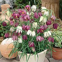 Фритиллярия Meleagris mix, купить луковицы цветов