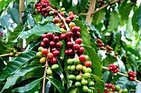 Саженец кофе Арабика, фото 1