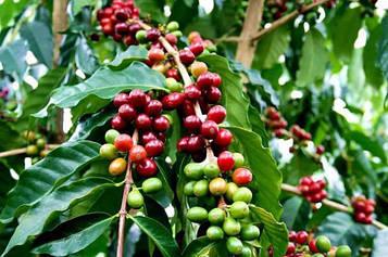 Саженец кофе Арабика