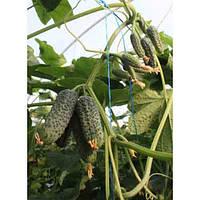 Ранний высокоурожайный самоопыляемый гибрид огурца с активным образованием боковых побегов сорт Туми F1