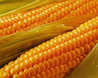Семена кукурузы Сингента Сиско ФАО 400