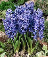 Гиацинт многоцветковый Blue Festival 2 шт./уп
