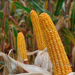 Кукуруза сорт ДКС-2971 (Monsanto) ФАО200