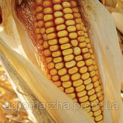 Кукуруза сорт ДКС-2870 (Monsanto ) ФАО210