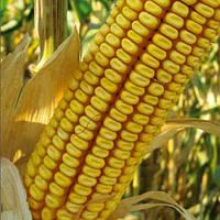 Кукуруза сорт ДКС 3795 (Monsanto ) ФАО250
