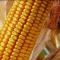 Кукуруза сорт ДКС-3420 (Monsanto) ФАО280