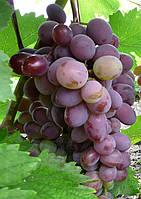 ВИКТОРИЯ     розовая, саженцы винограда