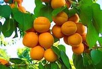 Лутшие подвои для слив, абрикосов, персика и чарешни
