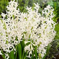 Гиацинт многоцветковый White Festival 1 шт./уп.