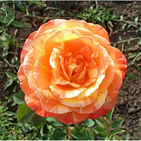 Роза Марвел / Marvelle