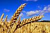 Покупаем пшеницу 2-го класса