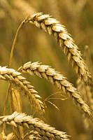Пшеница озимая Новокиевская