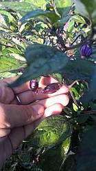 Перец чили Фиолетовый Тигр - 1 свежий стручок (1,5-2см)
