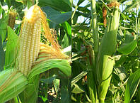 Семена кукурузы Лимагрейн гибрид ЛГ 30360