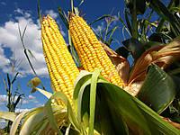 Семена кукурузы Limagrein ЛГ 3255 ФАО 250