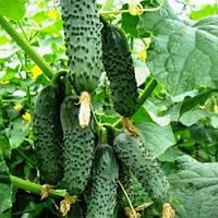 Ранний высокоурожайный самоопыляемый гибрид огурца с высокой отдачей урожая Ленара F1