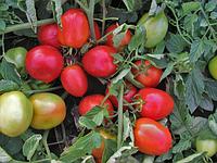 Эскорт / eskort  — томат детерминантный, semo 10 000 семян