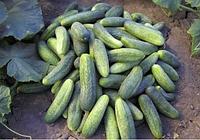Дафне f1 / dafne f1 — огурец партенокарпический, semo 1 000 семян