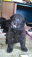 Продам щенков восточно-европейской черной овчарки