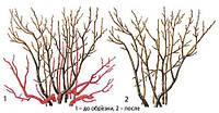 Обрезка и размножение кустов черной смородины