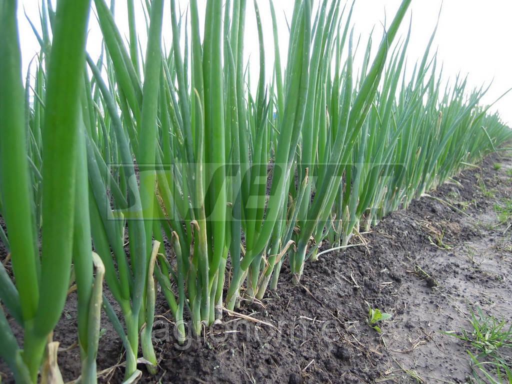 Семена лука СМ 0812 F1 500(Ранила)  грамм Semo