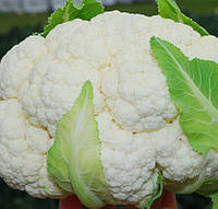 БРИГАНТИНА F1 - семена капусты цветной, 1000 семян, CLAUSE