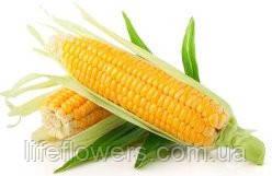"""Насіння Кукурудзи """"Жерзі КС, фото 2"""