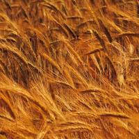 Озима пшениця Шестопалівка. с/еліта