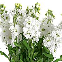 Matthiola Centum White